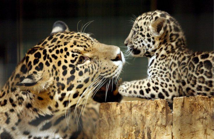 Jaguar-madre-cría-caricias